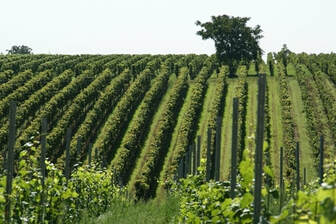 A picture of vineyards.